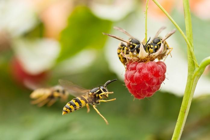пчелы и осы